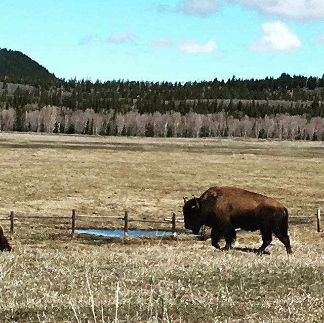 #solotraveler #grandtetonnationalpark #buffalo Buffalo!!!!https://m.facebook.com/anne0710 - from Instagram