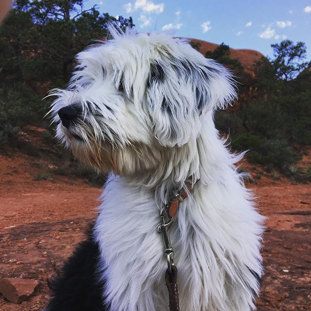 #tibetanterrier #puppy #vortexsedona - from Instagram